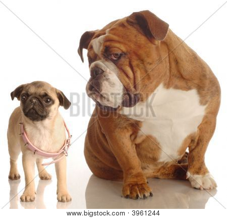 English Bulldog With Pug Puppy With Collar
