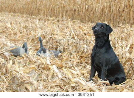 Black Labrador Retriever In Corn Field