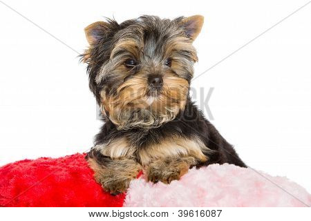 Yorkshire Terrier With Pink Bow And Red Velvet Pillow On Isolated White