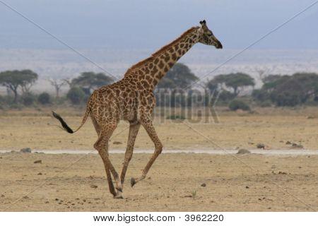 Wild ausgeführt in Afrika giraffe