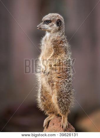 0_animal Life In Africa Watchful Meercat.jpg