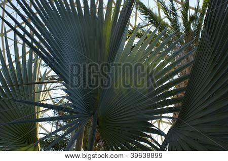 Fan Palms At Gardens