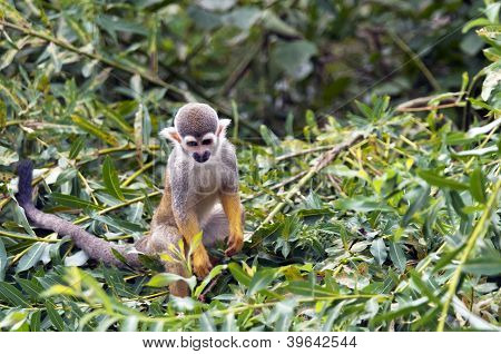The Common Squirrel Monkey (saimiri Sciureus)