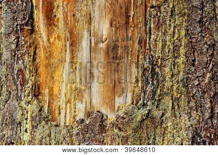 Old Scar On A Spruce