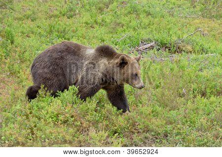 Bear In Bilberry Bushes