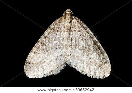 Motten (Lepidoptera)
