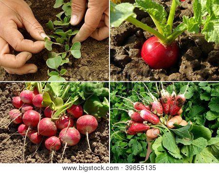 organic radish growing