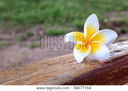 White And Yellow Frangipani Flower On Wood