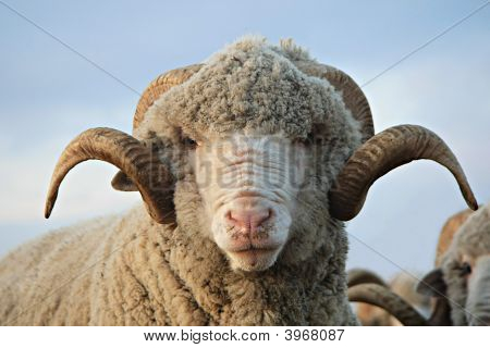 Cloe-Up Sheep