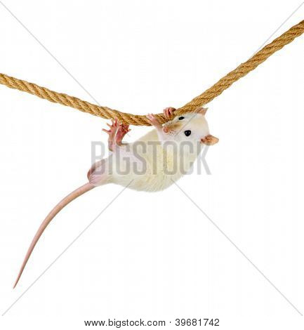 funny little rat on rope, isolated on white