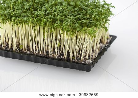 Cress In A Box