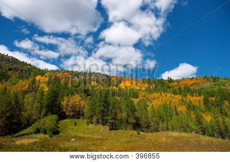 Yellow Aspen And Green Firs
