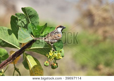 Sparrow on Jatropha - two endemic species on one photo: Socotra Sparrow (Passer insularis) on Jatropha unicostata (Euphorbiaceae)