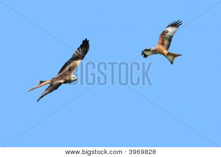 Red Kite Eagles