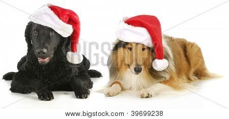 christmas dogs - curly coated retriever and rough collie wearing santa hats isolated on white background