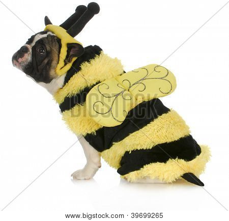 dog wearing bee costume - french bulldog dressed up like a bumble bee on white background