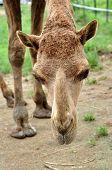 picture of dromedaries  - The dromedary or Arabian camel has a single hump - JPG