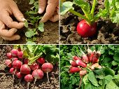stock photo of root-crops  - organic radish growing - JPG