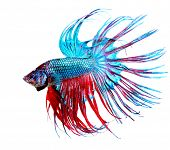 picture of fighting-rooster  - Betta Fish closeup - JPG
