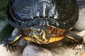 image of cooter  - high angle frontal detail of a freshwater turtle in stony ambiance - JPG