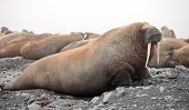 foto of sea cow  - Walrus family - JPG