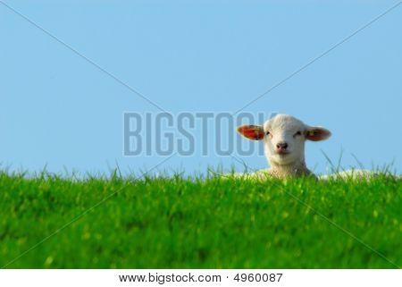 Cute Lamb In Spring
