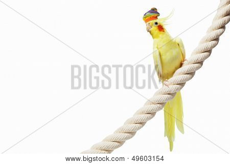 Image of funny parrot in hat sitting on rope