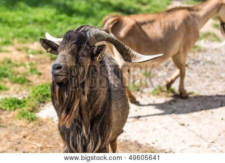 Closeup Of Goat
