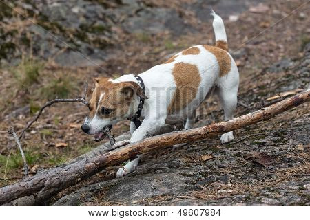 Puppy Gnaws A Tree Branch