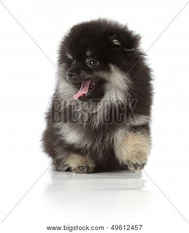 Black Pomeranian spitz