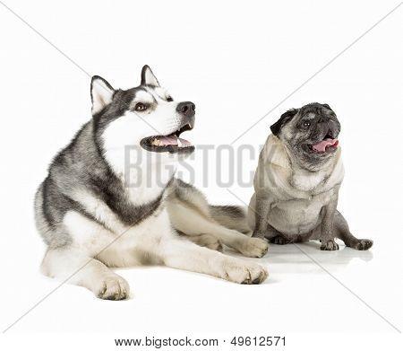 Pug And Siberian Husky