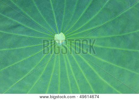 Lotus leaves texture