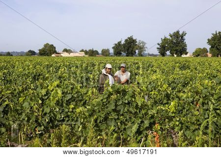 SAINT EMILION, FRANCE - AUGUST 8: Two men working in the vines of Saint Emilion fields, on August 8, 2012 in Saint Emilion, France.