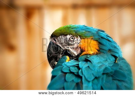 Beautiful Blue and Gold Macaw - Parrot Portrait