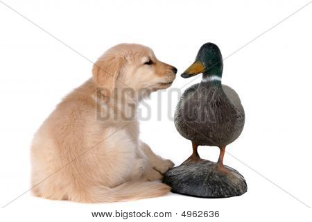 Golden Retriever Puppy Looking At A Duck Decoy