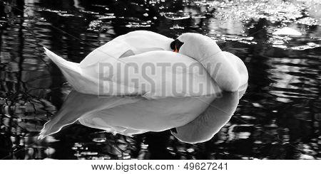 Portrait of a sleeping swan taking a rest