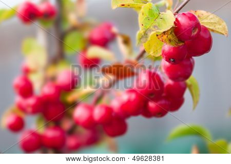 Crabapple - Malus - Red sentinel on a branch