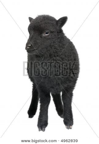 Young Black Shhep - Ouessant Ram (1 Month Old)