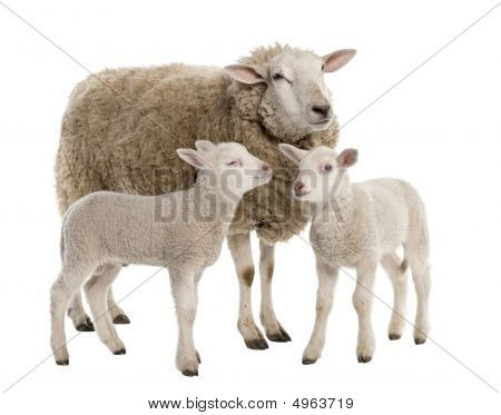 A Ewe With Her Two Lambs