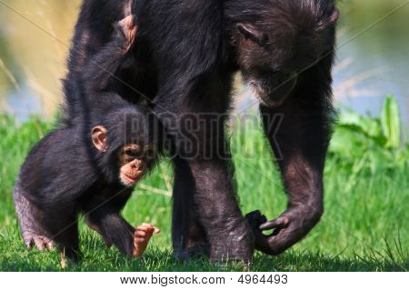 Walking Chimpanzee Baby With His Mother
