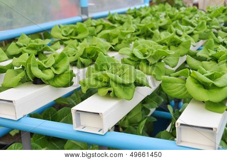 Growing Hydroponic Vegetables