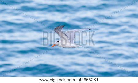 Royal Tern (thalasseus Maximus Maximus) Flying