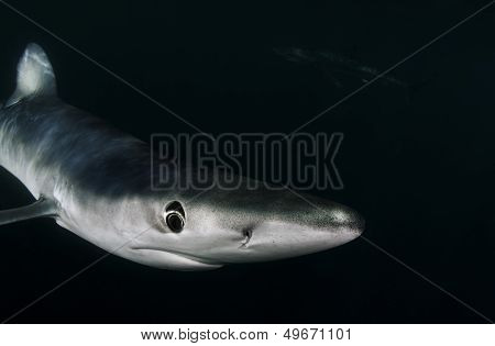 The long nose of a blue shark