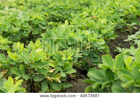 Peanut Plants After Rain