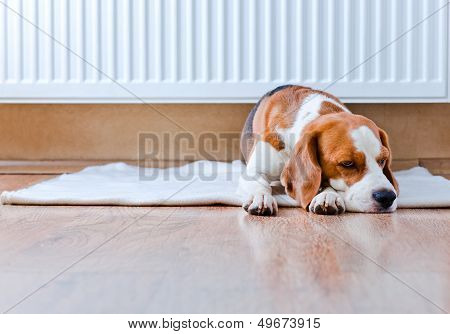 Dog Has A Rest  Near To A Warm Radiator