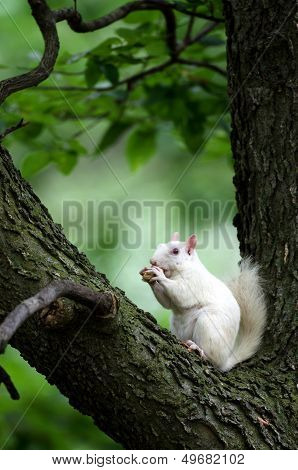 White Squirrel