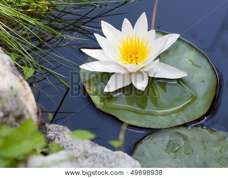 Water lily floating on lake