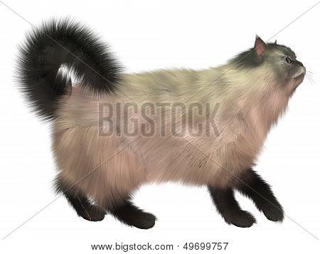 Blue Siamese Cat