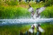 image of spread wings  - Oprey diving into a lake with spread wings to catach a fish - JPG