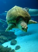 stock photo of sea-turtles  - Sea turtle under water in New York Aqurium - JPG